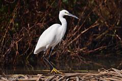 Garzetta _044 (Rolando CRINITI) Tags: garzetta uccelli uccello birds ornitologia racconigi natura