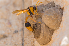 Potter Wasp (Eumeninae ) laying eggs on a grub  thats shes placed in a mud nest she built (Malcom Lang) Tags: potter wasp mud nests eggs larvae caterpillars grubs seal eaten alive control young feed eumeninae hymenopterans insect vespidae bug sting legs abdomen eyes wings black yellow mal lang photography southaustralia southern south southernaustralia southerneyrepeninsula lowereyrepenninsula eyrepeninsula eyre australia australian aussie ngc ag macro macrodreams 180macro lens180macro canoneos6d canon