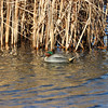 Teals in the winter sun (ray 96 blade) Tags: teals birds groveferry wintersun cold brrr springwatch nnr kent