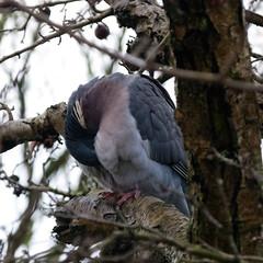 Wood pigeon, preening (Dave_A_2007) Tags: columbapalumbus bird nature pigeon wildlife woodpigeon stratforduponavon warwickshire england