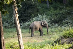 Elephant (aanantha.krishnan) Tags: elephant asian forest massive mammoth tusker pachyderm single wild india nagarhole trunk