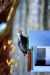Feeding Time (Dan Haug) Tags: pileatedwoodpecker dryocopuspileatus piciforme bird feeder nationalcapitalcommission ncc feeding perched wild redcapped fujifilm xf50140mmf28rlmoiswr xf50140 2018 xt2 2xteleconverter