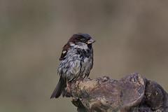 Haussperling (Passer domesticus) (appeldorn99) Tags: wildlife barleben sachsenanhalt deutschland deu singvogel haussperling