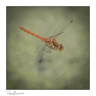 Common Darter on the wing