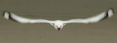 20180105_1760_7D2-150 Very Angry Gull (005/365) (johnstewartnz) Tags: 005365 day5 day005 onephotoaday oneaday onephotoaday2018 365project project365 redbilledgull canon canonapsc apsc eos 7d2 7dmarkii 7d canon7dmarkii canoneos7dmkii canoneos7dmarkii 70200mm 70200 70200f28 bird birds bif birdinflight larusnovaehollandiae chroicocephalusnovaehollandiaescopulinus tarapunga