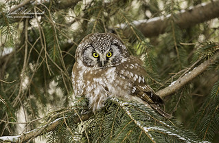 Boreal Owl - Nyctale de Tengmalm