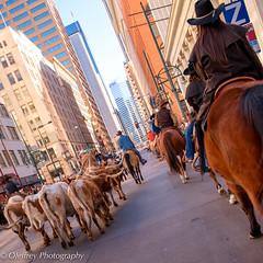 The Streets of Denver (OJeffrey Photography) Tags: denver colorado co nationalwesternstockshow stockshow longhorns cowgirl texaslonghorns skyscraper city squareformat horses cows steers nikon d850 jeffowens ojeffrey ojeffreyphotography