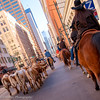 The Streets of Denver (OJeffrey Photography) Tags: denver colorado co nationalwesternstockshow stockshow longhorns cowgirl texaslonghorns skyscraper city squareformat horses cows steers nikon d850 jeffowens ojeffrey ojeffreyphotography