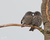 "Juvenile Western Bluebirds (dennis_plank_nature_photography) Tags: sialiamexicana westernbluebird bird wa washington aves avian birds littlerock nature prairie ""thurstoncounty"" ""avianphotography"" ""birdphotography"" ""naturephotography"" ""southsoundprairies"""
