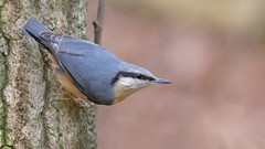 Nuthatch (KHR Images) Tags: nuthatch sittaeuropaea sittidae nuthatches wild bird barnwell country park northamptonshire wildlife nature nikon d500 lowlight kevinrobson khrimages