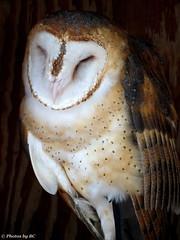Barn Owl. (~~BC's~~Photographs~~) Tags: bcsphotographs canonsxcamera barnowl birds naturephotos landbetweenthelakes kentuckyphotos outdoors closeups ourworldinphotosgroup earthwindandfiregroup explorekentucky archivephotos