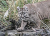 IMG_8833 (garrygeezer) Tags: puma cougar mountainlion carnivore cat feline mothernature bigcatsanctuary garrychisholm