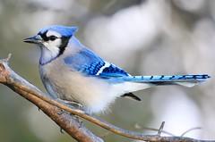 blue jay at Lake Meyer Park IA 854A0418 (lreis_naturalist) Tags: blue jay lake meyer park winneshiek county iowa larry reis