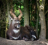 Le chef (musette thierry) Tags: musette thierry d600 pairidaiza brugelette belgique parc bois animalier animaux animal
