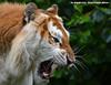 Golden tiger - Olmense Zoo (Mandenno photography) Tags: dierenpark dierentuin dieren animal animals golden tiger bengal olmense olmensezoo olmen belgie belgium bigcat big cat zoo