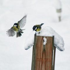 Move it! 😂 #birds #tits #winter #Sweden (elektroapa) Tags: birds sweden tits winter