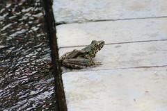 Schmacker's Frog (Odorrana schmackeri) (Nature.Catcher) Tags: odorrana odorranaschmackeri odorranahuanggangensis frog schmackersfrog piebaldodorousfrog torrentfrog torrent village china guangxi xingping amphibian nature stream leastconcern liriver lijiang yangshuo iucn toad asia iduncertain similar taxonomy:binomial=odorranaschmackeri