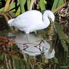 A Snowy Visitor (sweetdaddyroses/aka/SDR) Tags: arboretum arcadiaca botanicalgarden bird turtlepond snowyegret