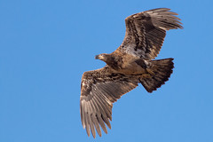Immature Bald Eagle (explored 12/2017) (Lynn Tweedie) Tags: eagle bald immature brown blue explore explored loess bluffs beak