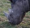 Yorkshire Wildlife Park 048 (Andrew Burling (SnapAndy1512)) Tags: yorkshirewildlifepark blackrhino rhino animals zoo yorkshire