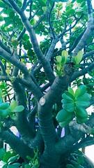 Green Grace. (lobotomyzed) Tags: barcelona catalunya gracia suculentas plants bonsai independencia lliure libertat presospoliticos