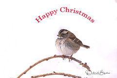 Happy Christmas!    (Explored) (dbifulco) Tags: explored nature birds branch christmas curved newjersey snow tree whitethroatedsparrow wildlife winter