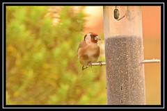 Goldfinch (NikonShutterBug1) Tags: nikond7100 tamron70300mm birds ornithology wildlife nature spe smartphotoeditor birdfeedingstation bokeh birdsfeeding goldfinch