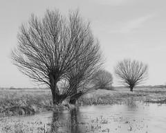 Willows (fotoswietokrzyskie) Tags: willows field landscape tree sky grass snow mamiyarz67ii ilford delta100 analog medium format 6x7 monochrome