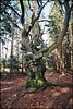 Fagus sylvatica. (beneathwoe) Tags: gold200 tree old nature beech forest wood