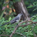 Northern Mockingbird at Shadow Bay Park (Orlando, Florida) - Thursday October 19, 2017 thumbnail