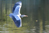 DSC_4969 (rtatn8) Tags: springwelllake rickmansworth hertfordshire england uk bird greyheron ardeacinerea flikr