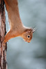 Red squirrel (Mike Mckenzie8) Tags: sciurus vulgaris british uk wild wildlife mammal scotland scottish highland cairngorm pine tree forest woodland winter snow pose
