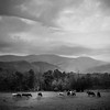 Cades Cove herd (RansomedNBlood) Tags: tn tennessee cadescove bw blackwhite landscape horses 120film mamiyac33 clouds mountains