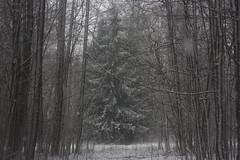 winter is escape VIII (Mindaugas Buivydas) Tags: lietuva lithuania color winter december snow snowstorm blizzard mood moody tree trees fir forest delta nemunasdelta nemunodeltosregioninisparkas nemunasdeltaregionalpark favoriteplaces memelland mindaugasbuivydas šilininkai portraitofthetree sadnature