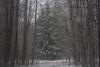 winter is escape VIII (Mindaugas Buivydas) Tags: lietuva lithuania color winter december snow snowstorm blizzard mood moody tree trees fir forest delta nemunasdelta nemunodeltosregioninisparkas nemunasdeltaregionalpark favoriteplaces memelland mindaugasbuivydas šilininkai