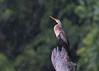 Anhinga (tickspics ) Tags: amazonbasin bahuajasonenenationalpark birds anhinga heathriver southamerica peru tambopata anhingaanhinga anhingidae tropicalrainforest