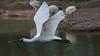 Royal Spoonbill in Flight (RoosterMan64) Tags: australia australiannativebird bif bird birdinflight nature royalspoonbill waterbird wildlife