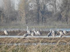 Sandhill Cranes at the Cosumnes River Preserve (randyherring) Tags: ca california centralcaliforniavalley cosumnesriverpreserve elkgrove afternoon aquaticbird nature outdoor recreational waterfowl wetlands