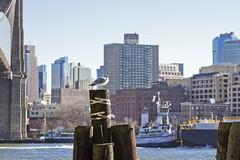 r_171221141_beat0083_a (Mitch Waxman) Tags: birds brooklynbridge eastrivershoreline gulls lowermanhattan manhattan newyorkcity tugboat newyork