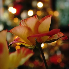 Macro Mondays: Member's Choice: bokeh - explored (quietpurplehaze07) Tags: macromondays memberschoice bokeh macro rose christmastreelights lights orange