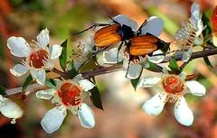 NECTAR SCARAB BEETLES (Lani Elliott) Tags: nature naturephotography lanielliott beetle beetles insect nectarscarabbeetles scarab flowers tasmanianflora tasmanianfauna light bright color colour colourful macro upclose close closeup bokeh phyllotocusrufipennis fantastic awesome beautiful wow brilliant