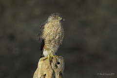 New Year Resolution- More feathers to my beak (Chantal Jacques Photography) Tags: addingfeatherstoyour bokeh depthoffield wild free wildandfree resolution newyear newyearsresolution coopershawk