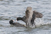 A bit of a punch up! (Linda Martin Photography) Tags: fulicaatra dorset longhamlakes coot wildlife birds uk nature