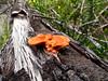 Just sitting around (jo.elphick) Tags: ulladulla nsw australia australian native bush orange lichen tree