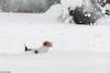 Sara. Happy New Year! 1/52 (Tõnno Paju) Tags: sara 52weeksfordogs dog animal pet jack russel terrier nikon nikkor snow