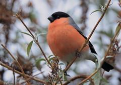 Bouvreuil pivoine (Michel Idre - 6 millions de vues merci) Tags: oiseau bird aves cierpgaux hautegaronne bouvreuilpivoine