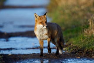 Fox (RSPB Greylake) #2 of 4