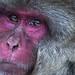 Snow monkey...