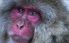 Snow monkey... (Syahrel Azha Hashim) Tags: face sonyimages coldweather stream sony nopeople snowmonkey 2017 details beautiful primate colors ilce7m2 nagano hotwaterspring touristattraction monkey expression closeup colorimage destination snow simple onsen winter river japanesemacaque sonya7m2 outdoors environment animal macaque japan travel