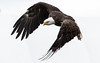 Bald Eagle - Snapshot (rmikulec) Tags: bald eagle white fine art raptor predator prey eye feather beak flight